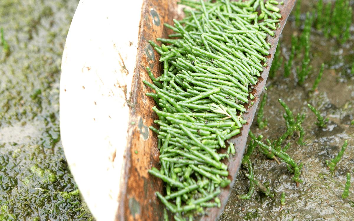 "<span>Marsh-Samphire (""Glasswort"")</span>"